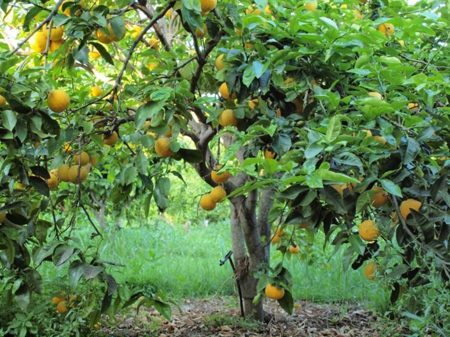 La Calabria profuma di Bergamotto