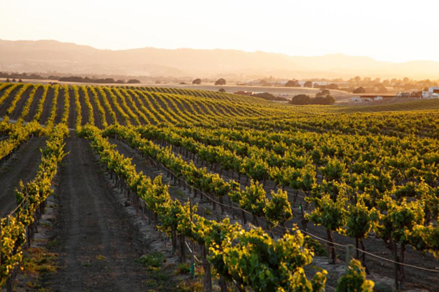 OCM vino in Friuli Venezia Giulia: 50% per i vigneti