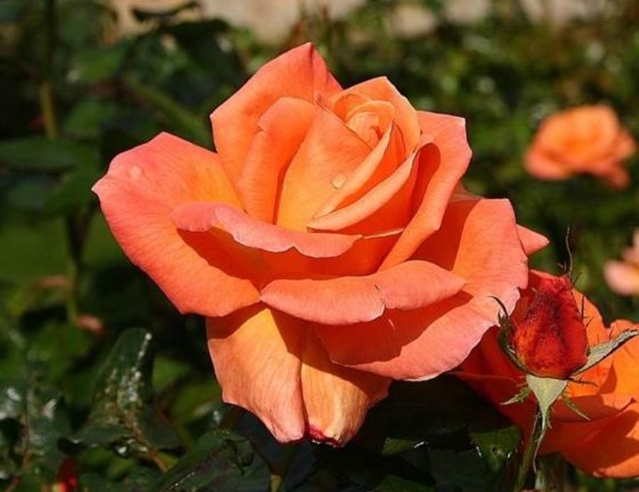 """La rosa Mamma Mia, il fiore dedicato al """"fiore più bello"""""""